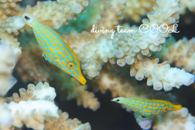 沖縄ダイビング水納島 テングカワハギ