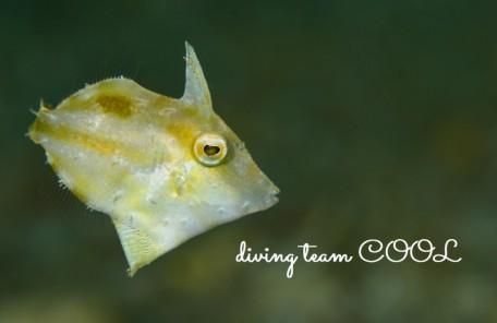 沖縄 フチドリカワハギの幼魚