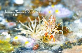 沖縄 トゲツノメエビ