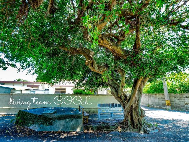 沖縄 ガジュマルの木