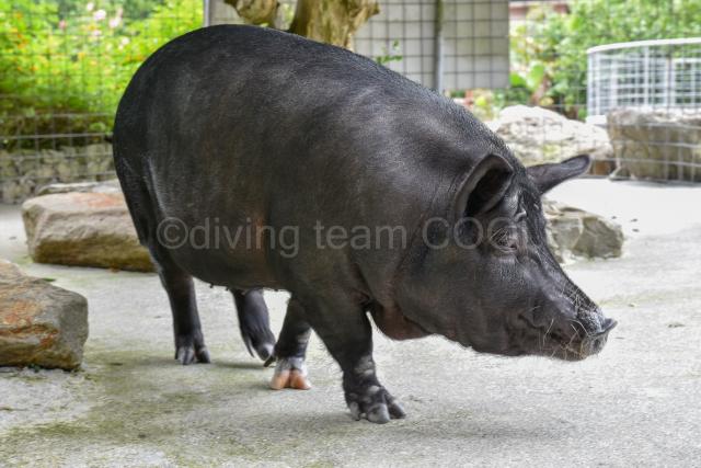 沖縄 アグー豚