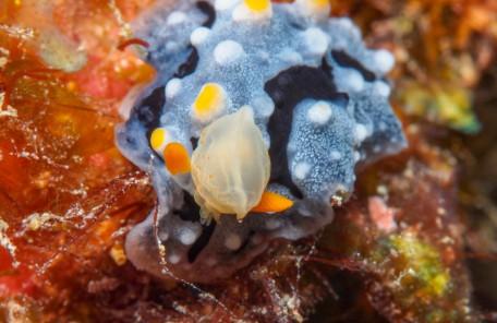 沖縄 ウミウシの捕食シーン