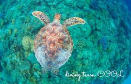 沖縄ダイビングライセンス アオウミガメ
