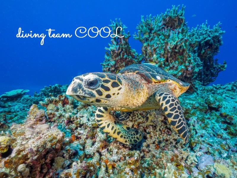ケラマ諸島ダイビング タイマイ