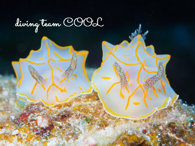 ケラマ諸島ダイビング キスジカンテンウミウシ