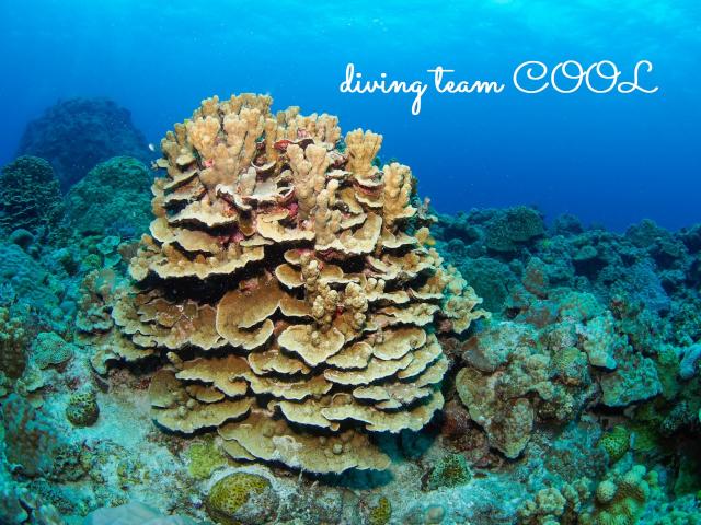 沖縄ダイビング パラオハマサンゴ