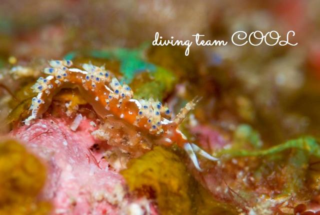 ケラマ諸島ダイビング リンカミノウミウシ