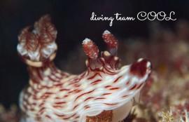 ケラマ諸島ファンダイビング ブッシュドノエルウミウシ