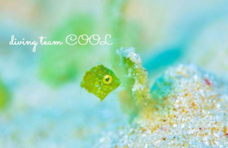 沖縄 アミメハギの幼魚
