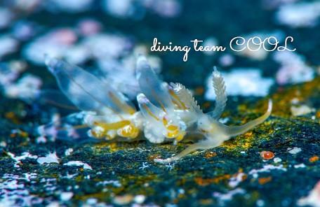 沖縄 カザリフウセンミノウミウシ
