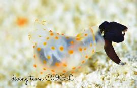 沖縄 キヌハダウミウシの捕食シーン