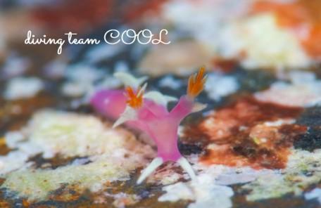 沖縄ダイビング ナンヨウウミウシ