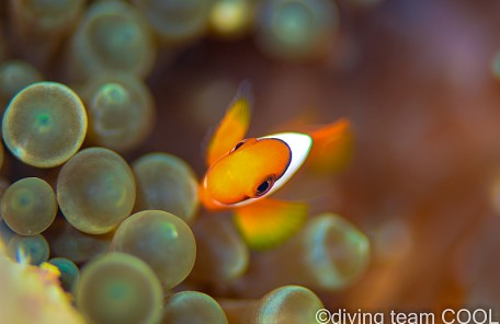 沖縄 ハマクマノミの幼魚