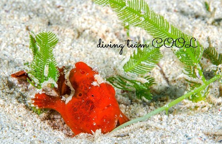 カエルアンコウの幼魚(赤)