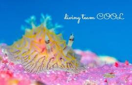 沖縄ダイビング パイナップルウミウシ