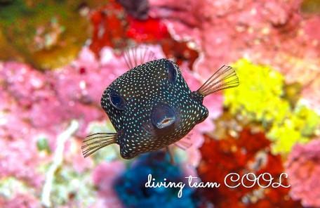 沖縄クロハコフグの幼魚