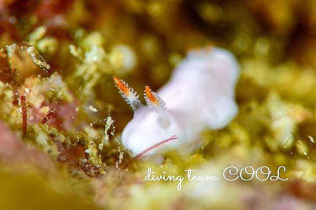 沖縄クロスウサギウミウシ