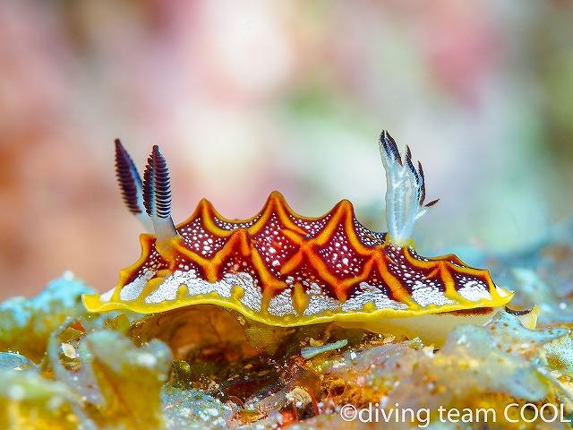 沖縄ダイビング モザイクウミウシ
