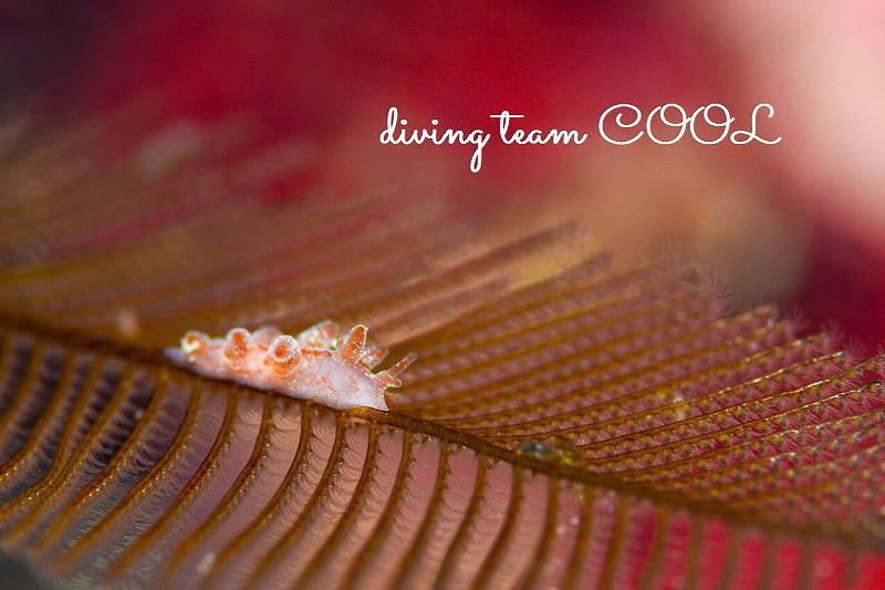 沖縄ダイビング アカオビマツカサウミウシ