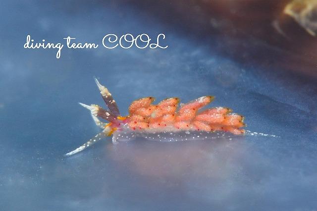 ケラマ諸島ダイビング ウツセミミノウミウシ