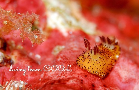沖縄ゴマフビロードウミウシ