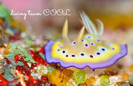 ケラマ諸島ダイビング オトヒメウミウシ