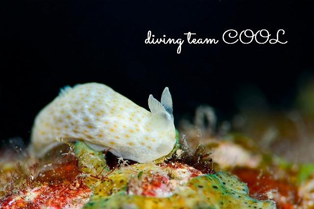 ケラマ諸島ダイビング キヌハダウミウシの仲間