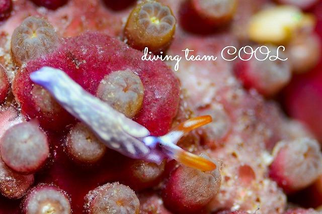 ケラマ諸島ダイビング スイートジェリーミドリガイ