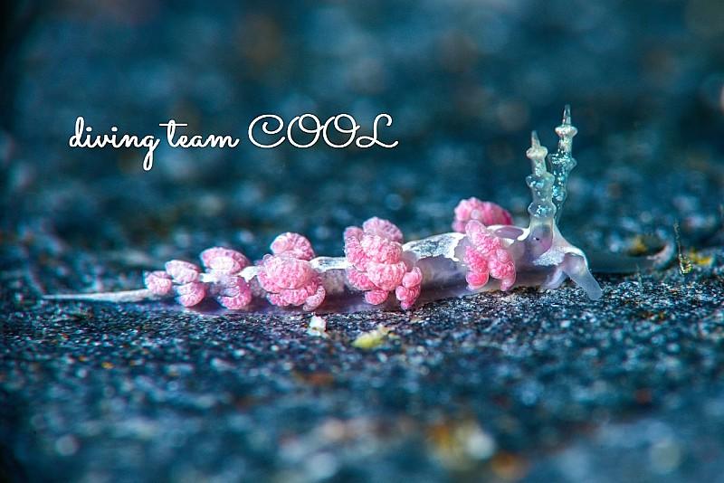 沖縄チゴミノウミウシ