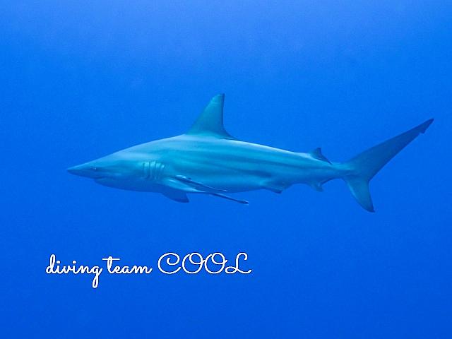沖縄カマストガリザメ