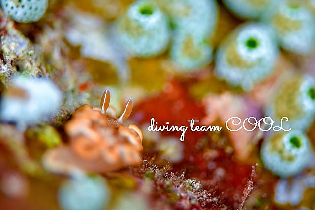 沖縄ダイビング キャラメルウミウシ