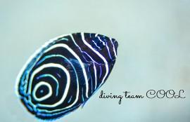 沖縄ダイビング タテジマキンチャクダイの幼魚