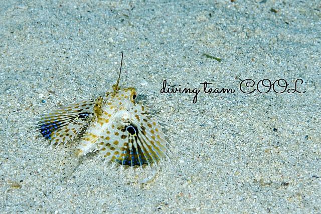 沖縄ダイビング セミホウボウの幼魚