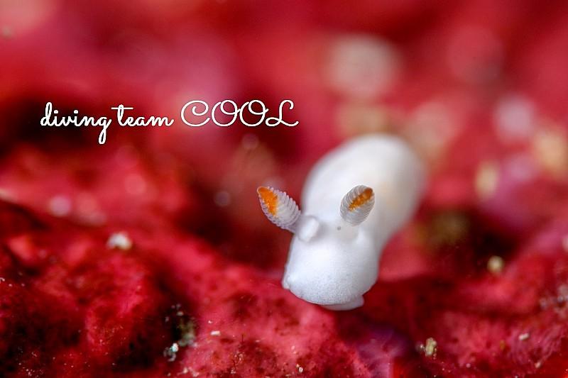 沖縄ダイビング シロウサギウミウシ