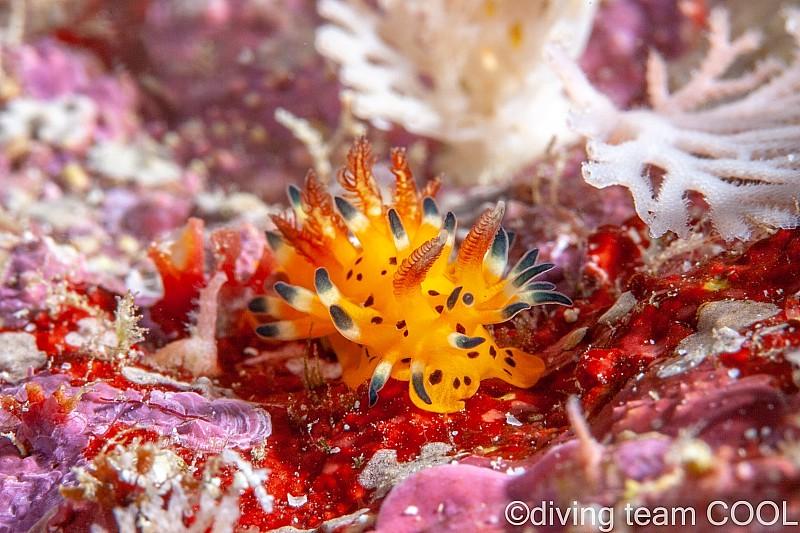沖縄ダイビング オニイバラウミウシ
