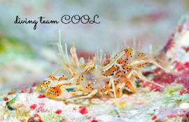沖縄ダイビング トゲツノメエビ
