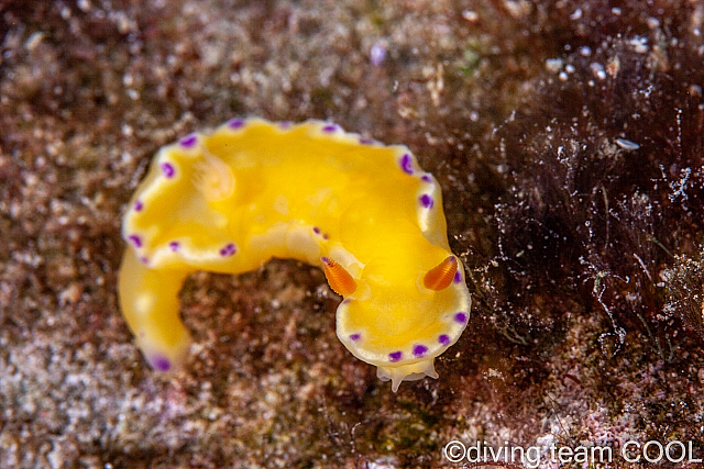 沖縄ダイビング コハクニシキウミウシ