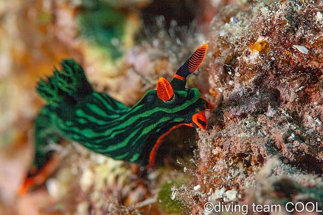 沖縄ダイビング アカフチリュウグウウミウシ