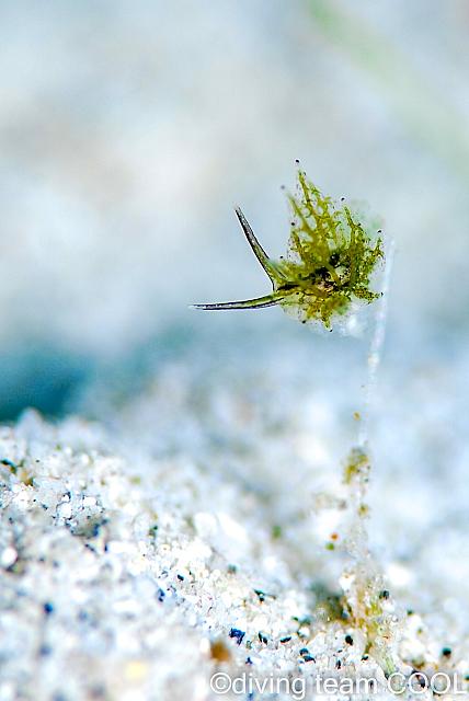 沖縄ダイビング シロモウミウシ