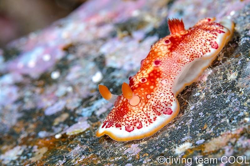 沖縄ダイビング ヒャクメウミウシ