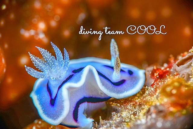 沖縄ダイビング ミゾレウミウシ
