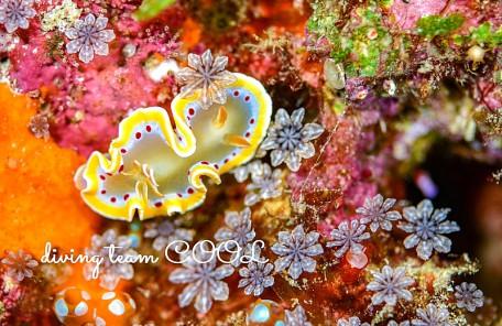 沖縄ダイビング アカテンイロウミウシ
