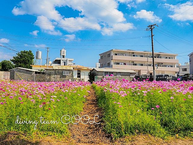沖縄写真 コスモス畑