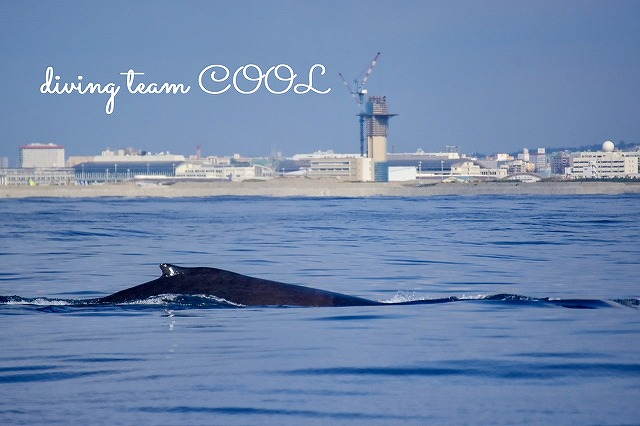 沖縄ホエールウォッチング ザトウクジラ
