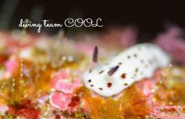 沖縄ダイビング マイチョコウミウシ
