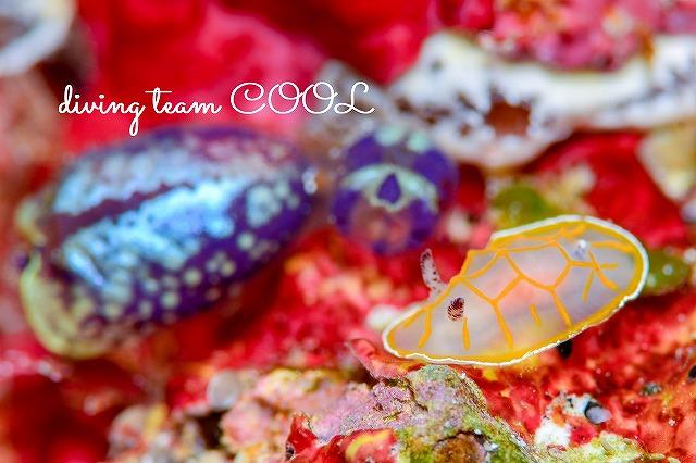 沖縄ウミウシダイブ キスジカンテンウミウシ