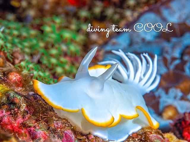 沖縄 メレンゲウミウシ