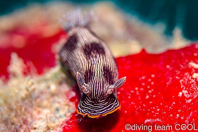 沖縄 ホソスジイロウミウシ