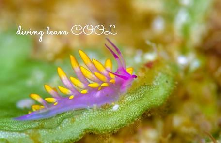 沖縄 ミチヨミノウミウシ