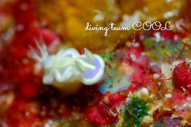 沖縄ケラマダイビング ウスフジイロウミウシ